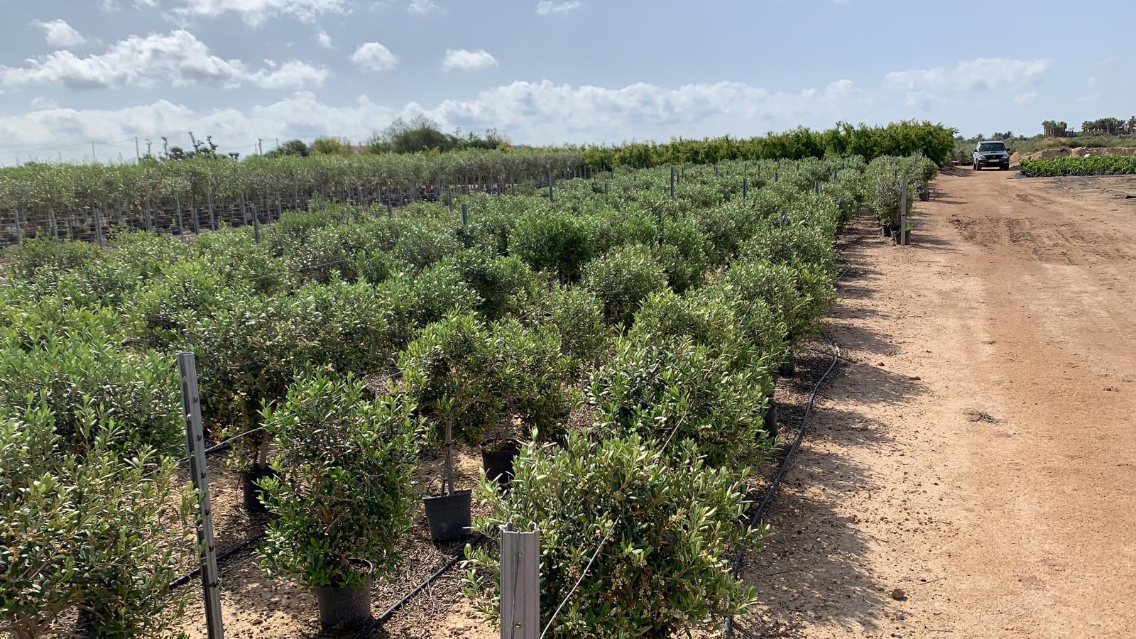 Spaanse bomen
